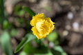 Yellow tulip closeup bokeh overhead view