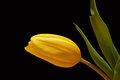 Yellow tulip drops on black background Royalty Free Stock Photo