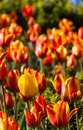 Yellow tulip in field of red-yellow tulips in Newcastle-upon-tyn Royalty Free Stock Photo