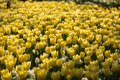 Yellow tulip flower bed Royalty Free Stock Photo