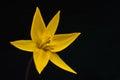 Yellow tulip flower Royalty Free Stock Photo