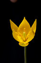 Yellow tulip flower Royalty Free Stock Photo