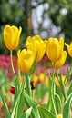 Yellow tulip flower garden Stock Photography