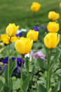Yellow tulip flower garden spring season Stock Image