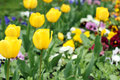 Yellow tulip flower garden spring Royalty Free Stock Photo