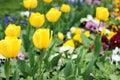 Yellow tulip flower garden spring Royalty Free Stock Photo
