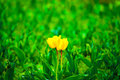 Yellow tulip flower in spring Royalty Free Stock Photo