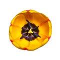 Yellow Tulip Flower  on White Royalty Free Stock Photo