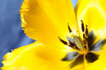 Yellow tulip macro blossom shot over blue background Stock Photography