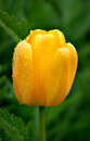 Yellow tulip after rain Stock Photography