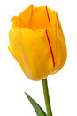 Yellow Tulip With Red Stripe
