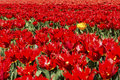 Yellow tulip in red tulip field Royalty Free Stock Photo