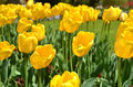 Yellow Tulips Royalty Free Stock Photos