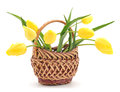 Yellow tulips in a basket on a white background Stock Photos