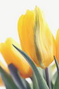 Yellow tulips beautiful bouquet of tinted Stock Images