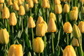 Yellow tulips blooming in the park Royalty Free Stock Image