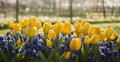 Yellow tulips and blue grape hyacinths with dewdrops in early morning light in spring Royalty Free Stock Image