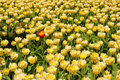 Yellow Tulips Field, One Red Royalty Free Stock Photo