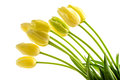 Yellow tulips flowers with long stalk Royalty Free Stock Photography