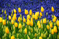 Yellow tulips in front of the blue muscari spring flowers Royalty Free Stock Images