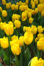 Yellow tulips in full bloom Stock Images