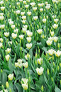 Yellow tulips intensive cultivation of Royalty Free Stock Photos