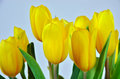 Yellow tulips isolated on white background Royalty Free Stock Photo