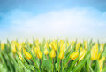 Yellow tulips over sky spring flowers background frame Stock Photography