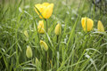 Yellow tulips pictures of tulips photos in the grass Stock Images