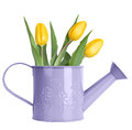 Yellow tulips in purple watering can isolated on white Stock Photo