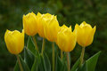 Yellow tulips several beautiful on blurred green background Royalty Free Stock Photography