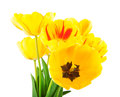 Yellow tulips spring flowers on white background Stock Photos
