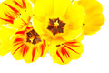 Yellow tulips spring flowers on white background Stock Images
