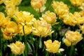 Yellow tulips in the sunshine cheerful Royalty Free Stock Photo