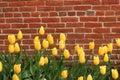 Yellow tulips vividly colored along a brick wall Stock Photo