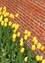 Yellow tulips vividly colored along a brick wall Stock Photos
