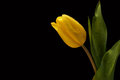 Yellow tulips with water drops on black background Royalty Free Stock Photo