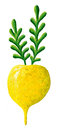 Yellow turnip acrylic illustration of Stock Photo