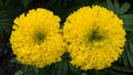 Yellow Two Calendula flowers Blooming Royalty Free Stock Photo
