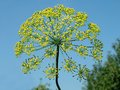 Yellow umbel dill blue sky Stock Image