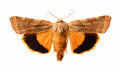 Yellow underwing noctua fimbriata isolated on white moth Royalty Free Stock Photo