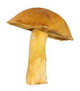 Yellow velvet bolete on white isolated background Royalty Free Stock Photo