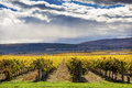 Yellow Vines Grapes Fall Vineyards Red Mountain Benton City Washington Royalty Free Stock Photo