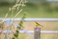 Yellow wag tail bird singing in the rain Royalty Free Stock Photo