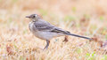 Yellow wagtail female perching in grass summer Stock Photos