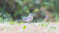 Yellow wagtail female perching in grass summer Royalty Free Stock Photos