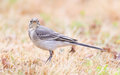 Yellow wagtail female perching in grass summer Stock Photography