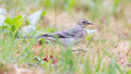 Yellow wagtail female perching in grass summer Royalty Free Stock Photography