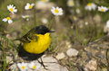 Yellow wagtail messing around daisies Stock Photography
