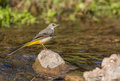 Yellow Wagtail at a river Stock Image